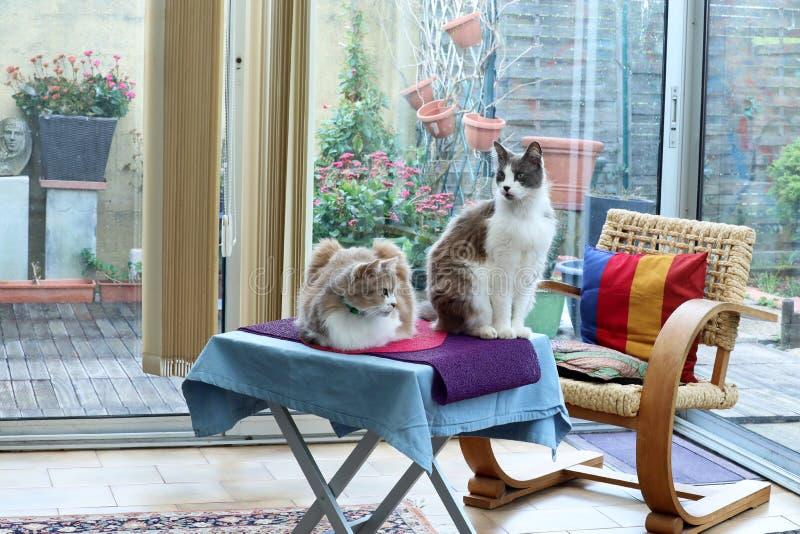 Två hemmastadda härliga inhemska katter royaltyfria foton