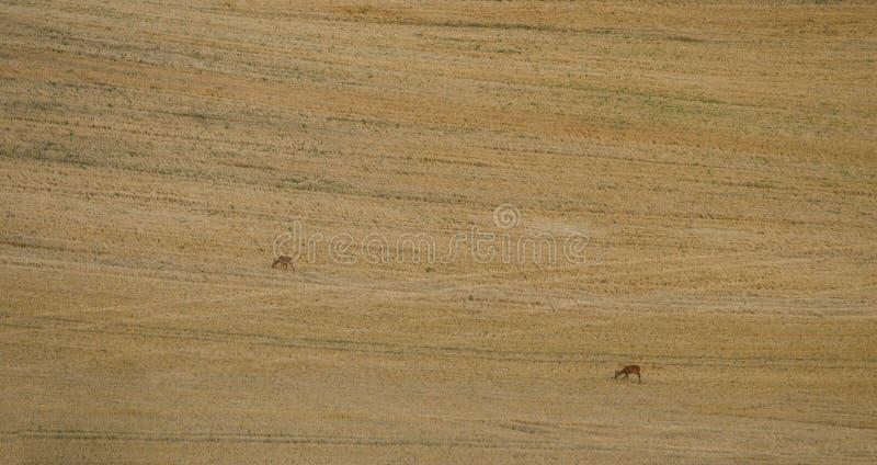 Två hjortar i ett fält arkivfoto