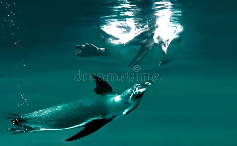 Simma för pingvin royaltyfri bild
