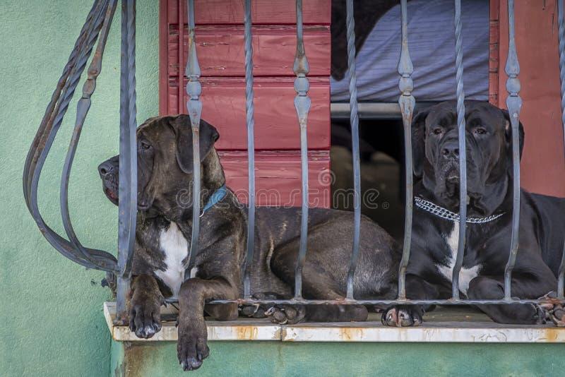 Två hundar på balkongen fotografering för bildbyråer
