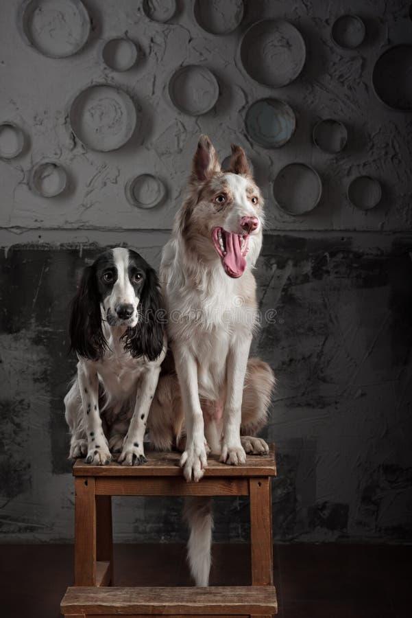 Två hundavel Border collie och rysk spaniel royaltyfri bild