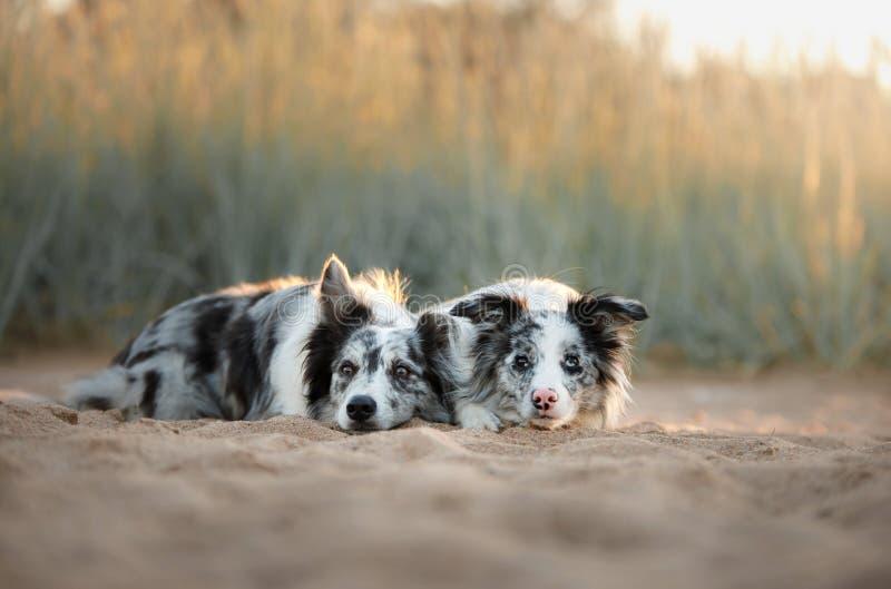 Två hundkapplöpning border collie som ligger på sanden fotografering för bildbyråer