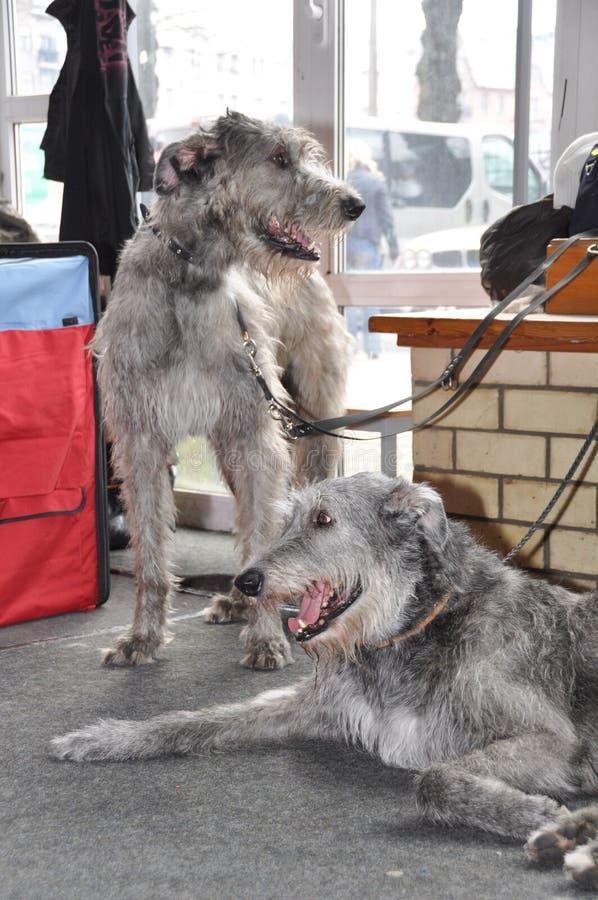 Två hundkapplöpning för irländsk varghund arkivbilder