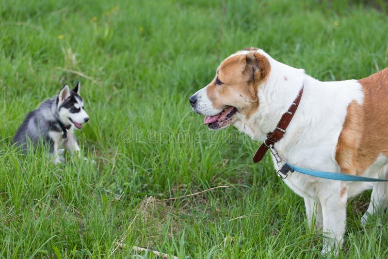 Två hundkapplöpning går och spelar i gräs i natur Kamratskap vänbegrepp fotografering för bildbyråer