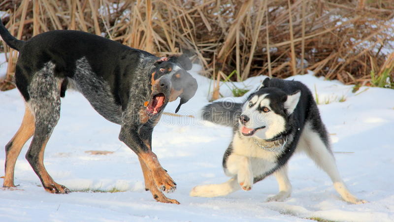 Två hundkapplöpning gör en show fotografering för bildbyråer