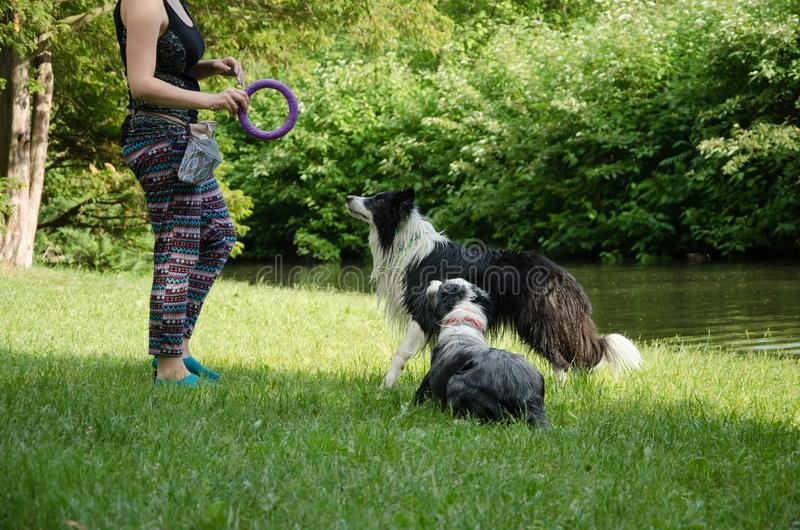 Två hundkapplöpning håller ögonen på på kvinnan och väntar på festerna royaltyfria foton