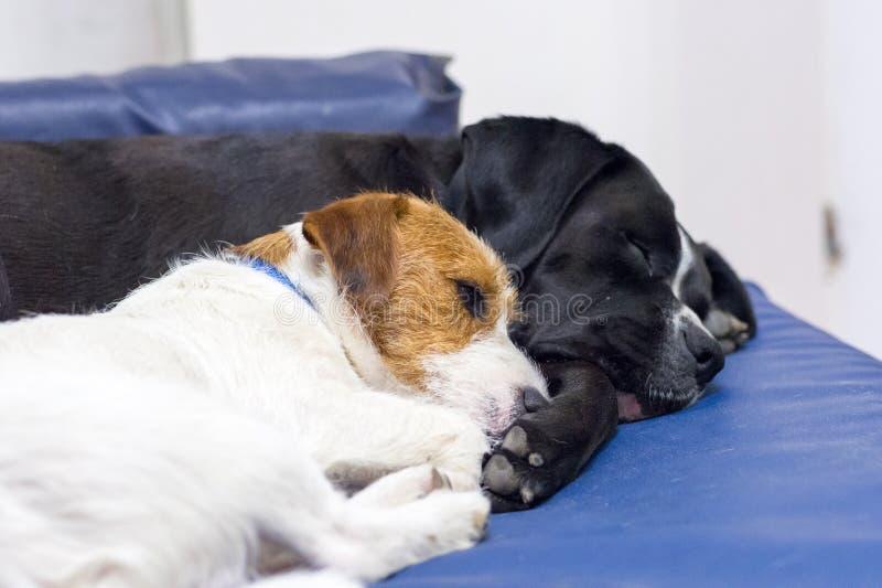 Två hundkapplöpning, litet och stort, sover på soffan arkivfoton
