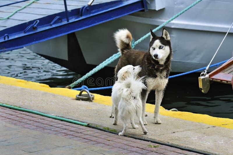 Två hundkapplöpning möter i porten fotografering för bildbyråer