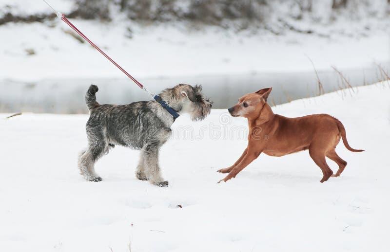 Två hundkapplöpning mötte på går Kamratskap socialization royaltyfri fotografi