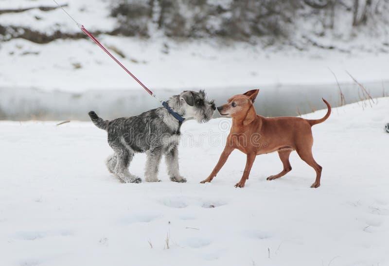 Två hundkapplöpning mötte på går Kamratskap socialization royaltyfria bilder