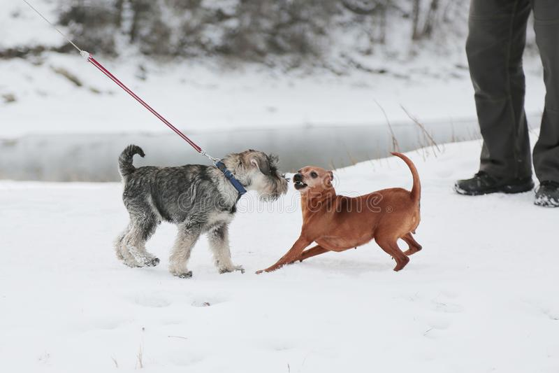 Två hundkapplöpning mötte på går Kamratskap socialization arkivfoto