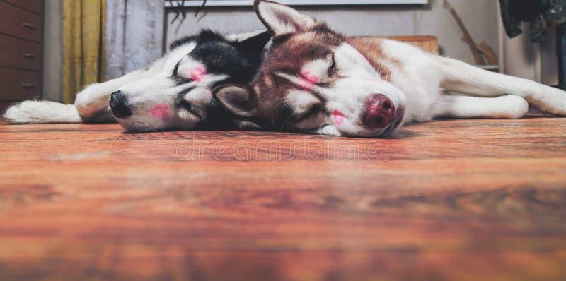 Två hundkapplöpning med röda läppstiftfläckar på framsidan från att kyssa Den skrovliga hundkapplöpningen sover sidan - förbi - s royaltyfria bilder