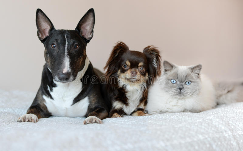 Två hundkapplöpning och en katt som tillsammans poserar på en säng arkivbilder