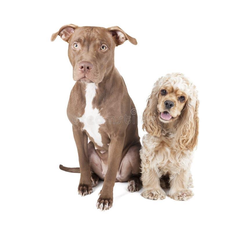 Två hundkapplöpning (Pit Bull och engelsk cockerspaniel) royaltyfria bilder