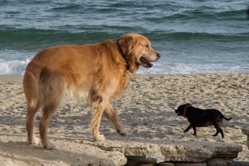 Två hundkapplöpning - som är liten och som är stor på stranden royaltyfria foton