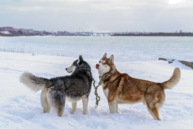 Två hundkapplöpning som är skrovlig i djup snö på bankvinterfloden Hundkapplöpning för Siberian huskies Vinterlandskap av det nor arkivfoto