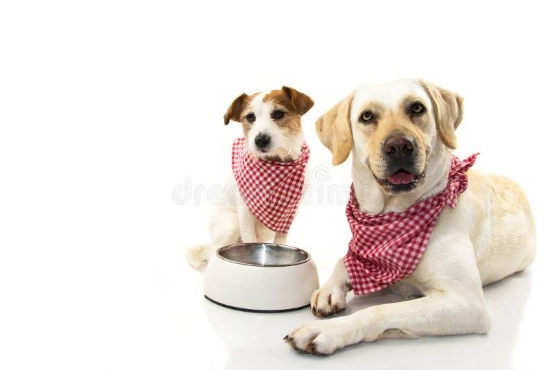 Två hundkapplöpning som äter mat LABRADOR OCH STÅLAR RUSSEELL SOM NER LIGGER MED EN TOM BUNKE ISOLERAT STUDIOSKOTT MOT VIT BAKGRU royaltyfria bilder