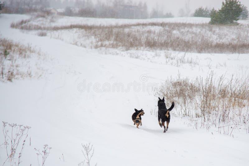 Två hundkapplöpning som kör i vinterfält fotografering för bildbyråer