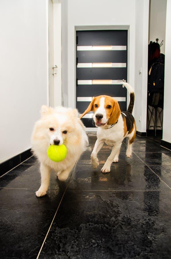 Två hundkapplöpning som kör inomhus att spela tillsammans royaltyfri foto