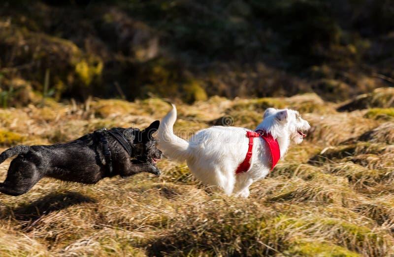 Två hundkapplöpning som kör och spelar royaltyfria bilder