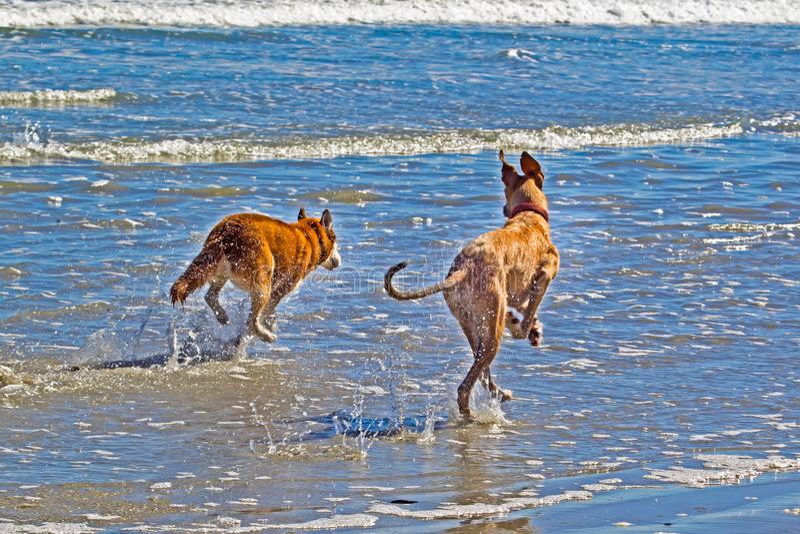 Två hundkapplöpning som kör till och med vågor på stranden arkivbilder