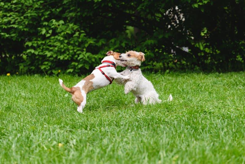 Två hundkapplöpning som kramar och kysser, medan fostra upp fotografering för bildbyråer