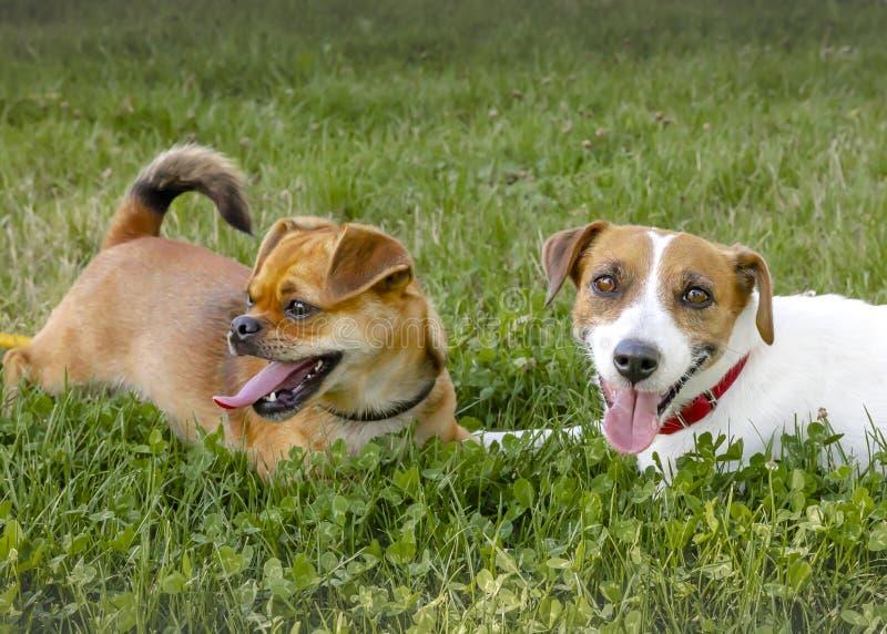 Två hundkapplöpning som ligger på en grön gräsmatta Lyckliga spela husdjur royaltyfri bild