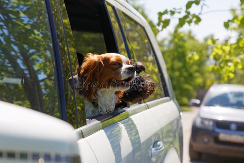 Två hundkapplöpning som reser i bil royaltyfri foto