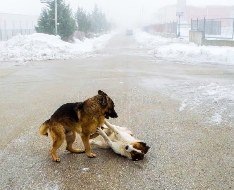 Två hundkapplöpning som spelar i gatan arkivbild