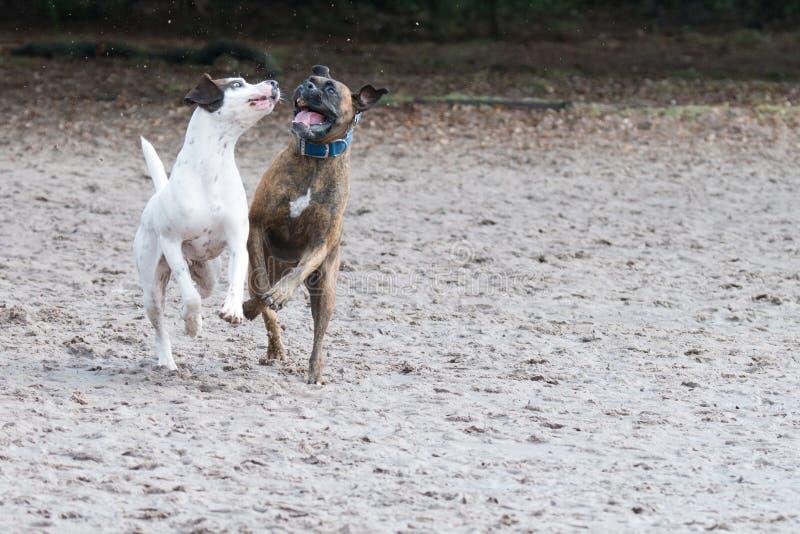 Två hundkapplöpning som spelar i sanden arkivfoto