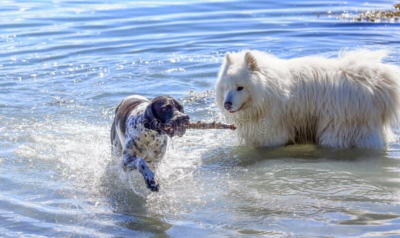 Två hundkapplöpning som spelar i vattnet arkivbild