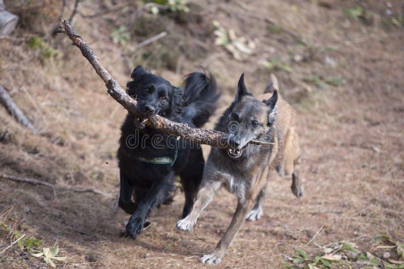 Två hundkapplöpning som tillsammans bär en pinne royaltyfri bild