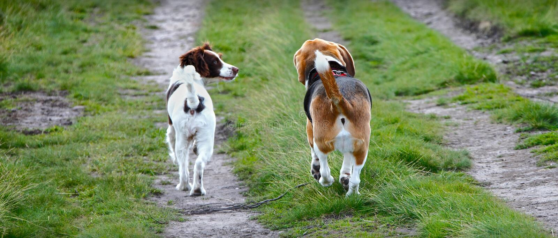 Två hundkapplöpning som tillsammans går arkivfoto