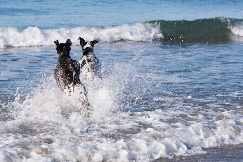Två hundkapplöpning som ut kör till havet arkivbild