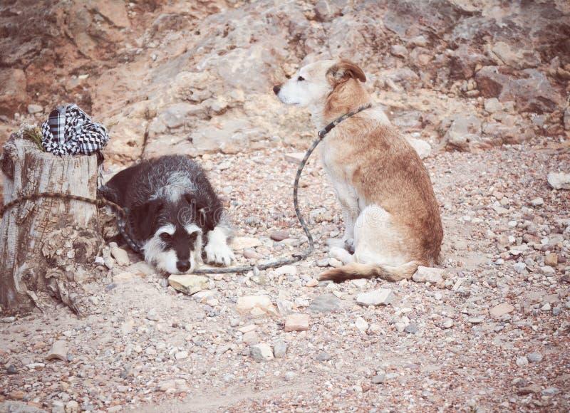 två hundkapplöpning som väntar på deras ägare som binds till en gammal stam royaltyfria bilder