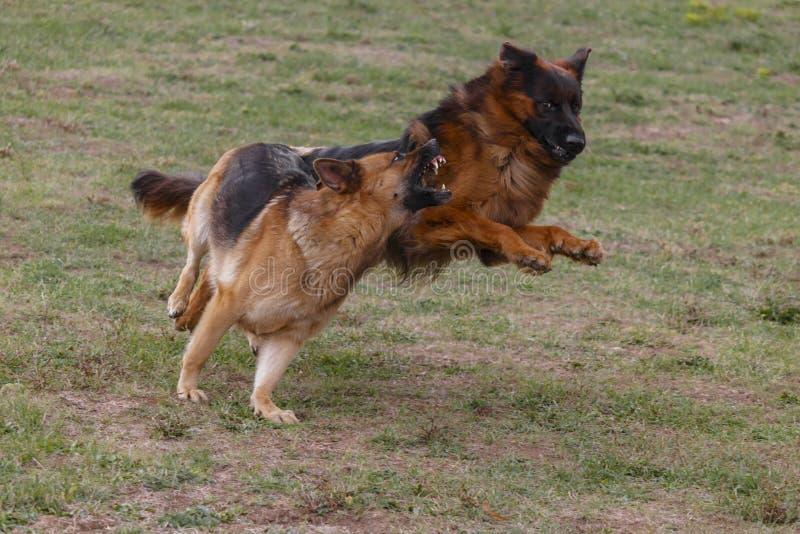Två hundkapplöpning spelar i ängen fotografering för bildbyråer