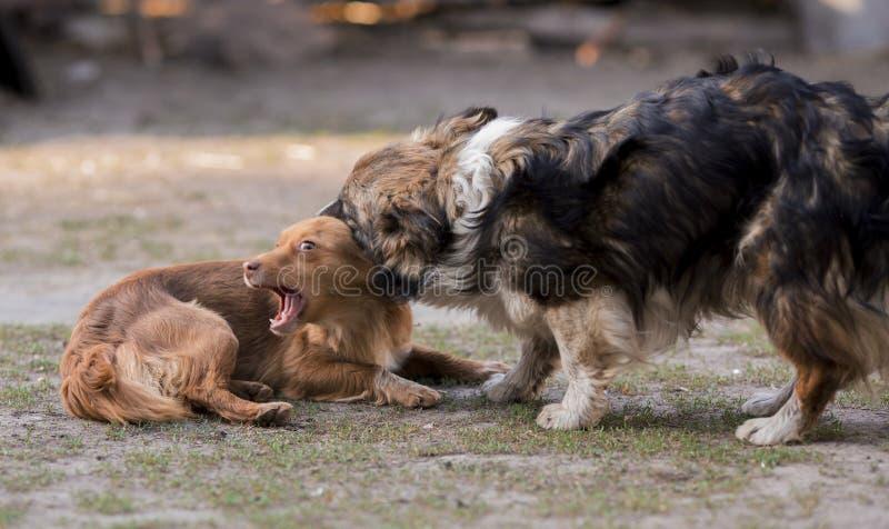 Två hundkapplöpning spelar Röd och brun vovvetugga arkivfoton