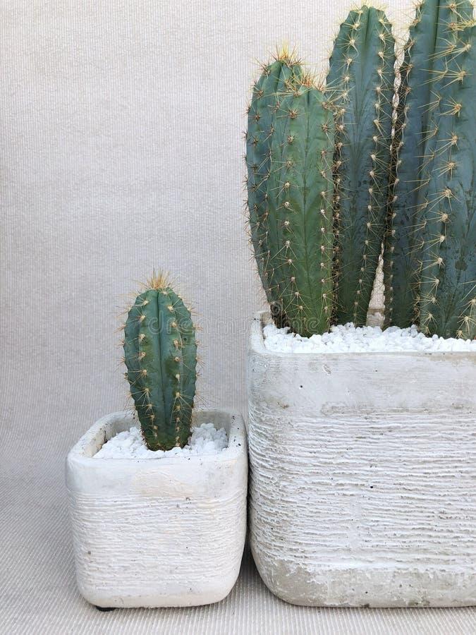 Två inlagda kaktusväxter royaltyfria bilder
