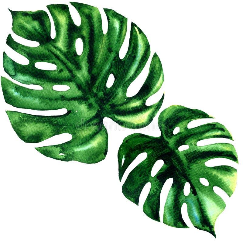 Två isolerat tropiskt stort grönt blad av den exotiska monsteraen, vattenfärgillustration på vit vektor illustrationer