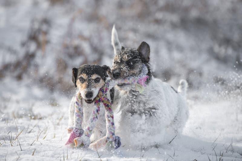 Två Jack Russell Terrier hundkapplöpning spelar tillsammans snö im royaltyfri bild