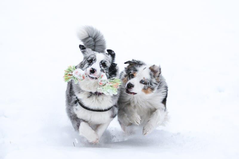 Två jaga australierherdar under vinter arkivbild