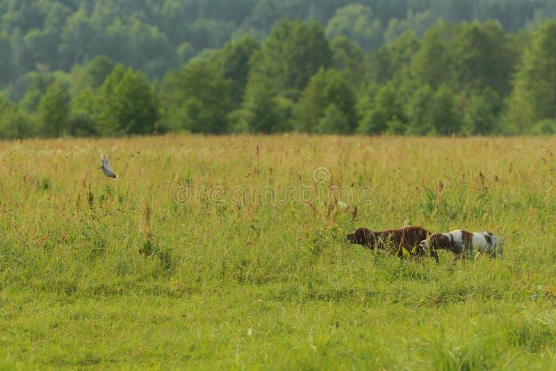 Två jakthundkapplöpning fungerar på jakt för fåglar Flyga beckasin fotografering för bildbyråer
