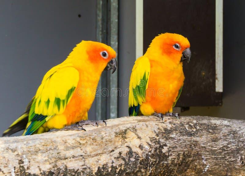 Två jandayaparakiter som tillsammans sitter på en filial, färgrika tropiska fåglar från Brasilien royaltyfria foton