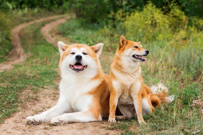 Två japanska hundkapplöpning: Akita inu och Shiba inu royaltyfria foton
