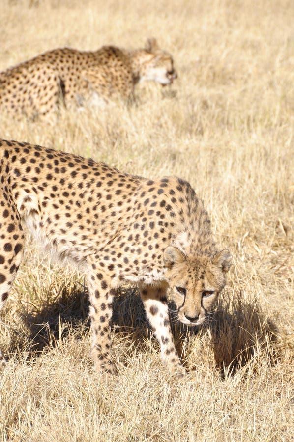 Två Jeethas i den namibian Kalaharien royaltyfri foto