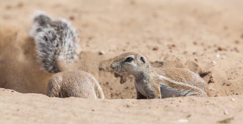Två jordekorrar som söker efter mat i torra Kalahari sandartis royaltyfria bilder