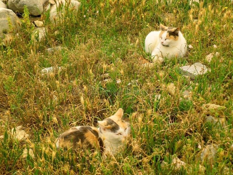 Två kalikå Cat Napping på fältet av forntida fördärvar av akropolen, Aten arkivfoto