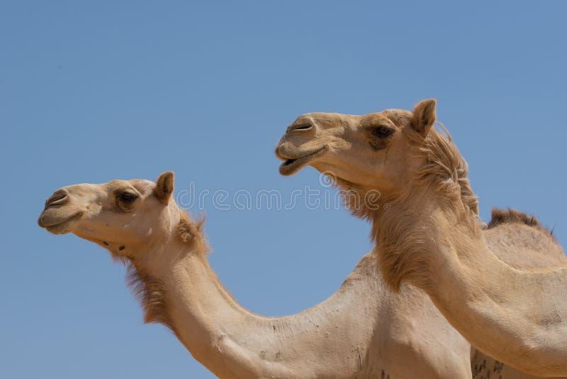 Två kamel i den arabiska öknen royaltyfri bild