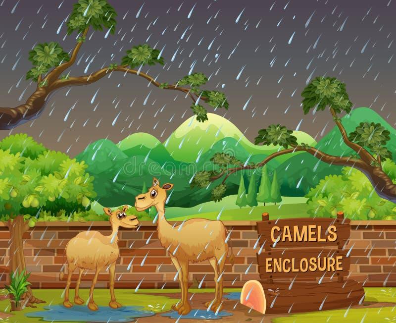 Två kamel i zoo på rainny dag royaltyfri illustrationer
