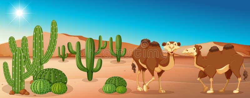 Två kamel som står i ökenfält vektor illustrationer
